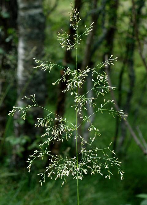 Sølvbunke (Deschampsia cespitosa)