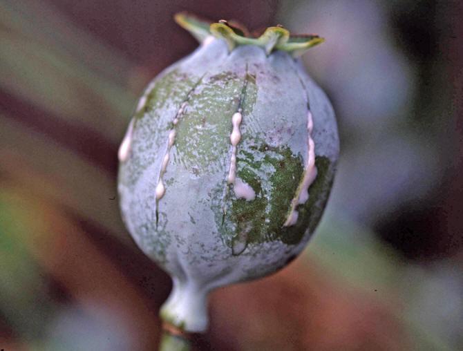 Opiumsvalmue frø