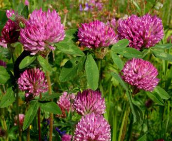 Vanlige blomster i norge